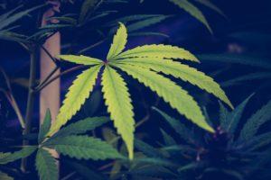 Cannabis Recording
